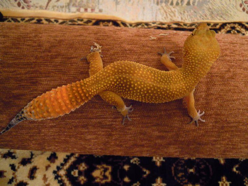 hypo tangerine carrot tail