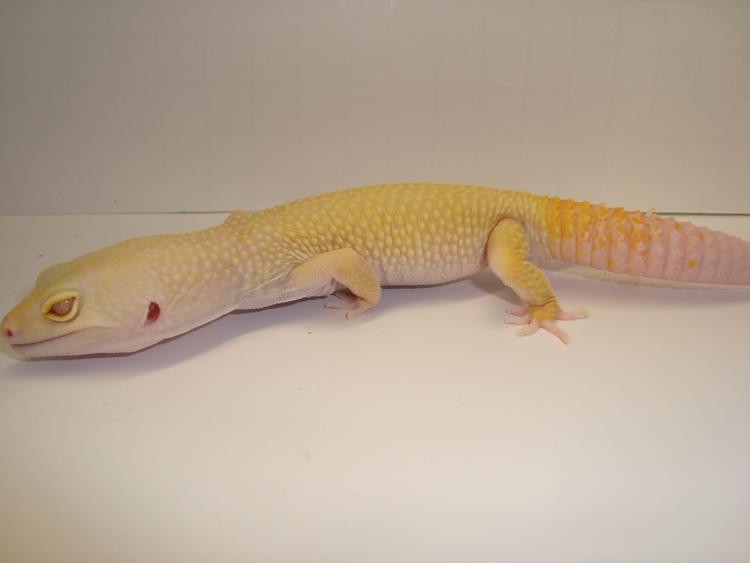 Bell Albino Murphy Patternless