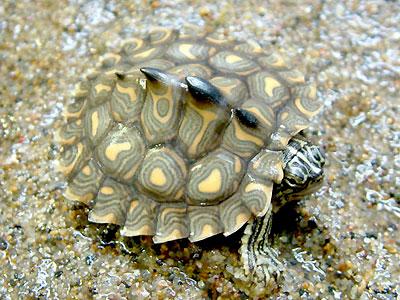 Черепаха горбатая желтопятнистая (Graptemis flavimaculata)