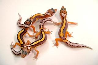 Группа ювенильных особей морфы Laventer