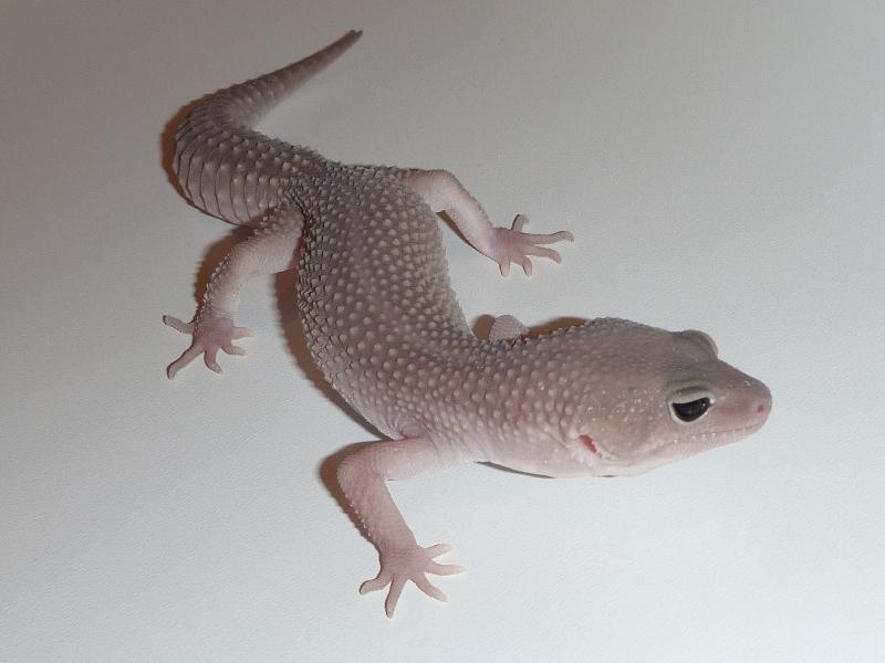 Baby midnight blizzard leopard gecko - photo#28