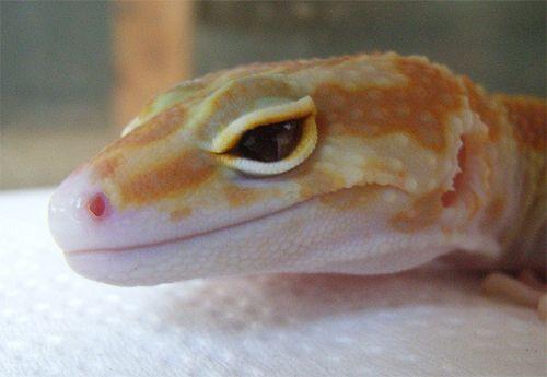 Пятнистый эублефар Snake Eyes