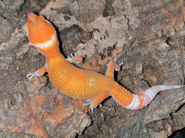 Подросток леопардового геккона морфы Sunglow