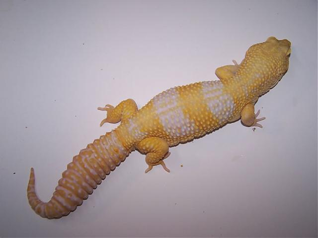 Пятнистый эублефар морфы Super Giant Tremper Albino
