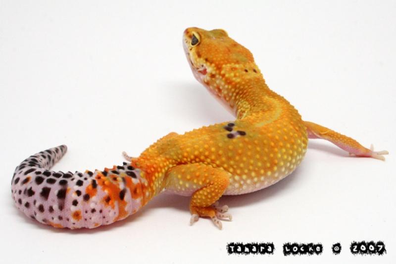 Пятнистый эублефар морфы Super Hypo Tangerine