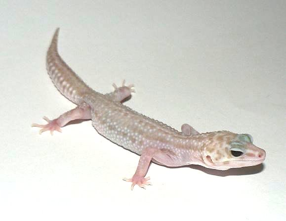 Пятнистый эублефар морфы Super Snow Tremper Albino