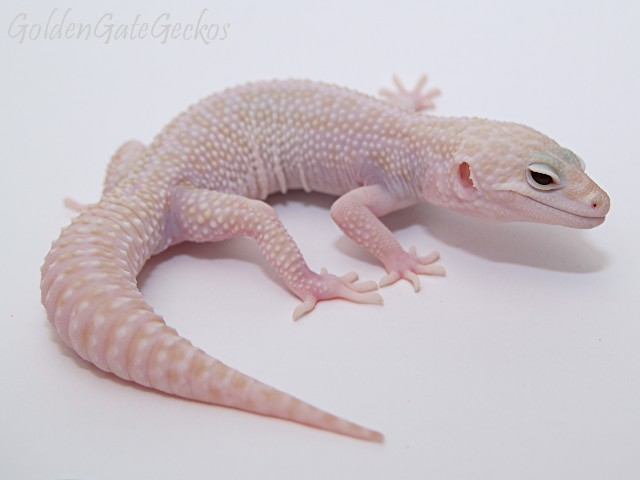 Эублефар морфы Super Snow Tremper Albino