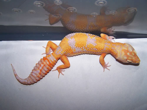 Tremper Albino Jungle Giant