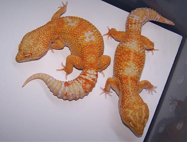 Леопардовые гекконы морфы Tangelo