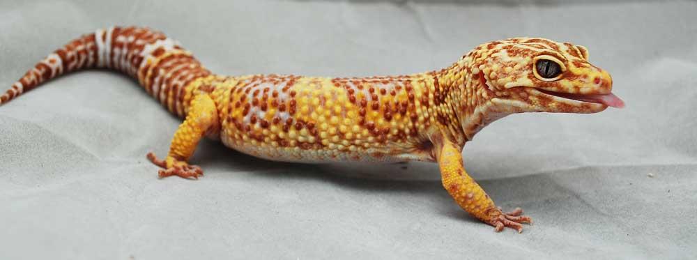 Пятнистый эублефар морфы Tremper Albino