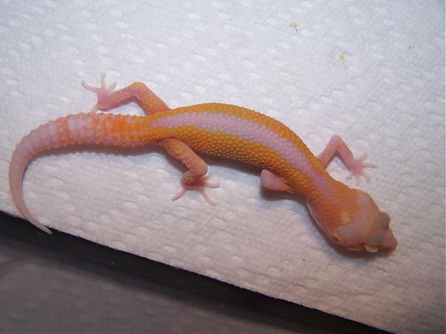 Пятнистый эублефар Tremper Albino Reverse Stripe