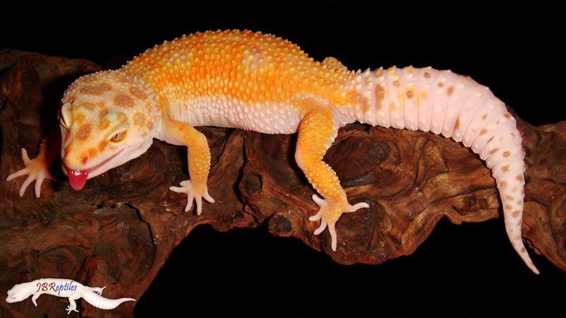 Пятнистый эублефар морфы Tremper Sunglow Enigma