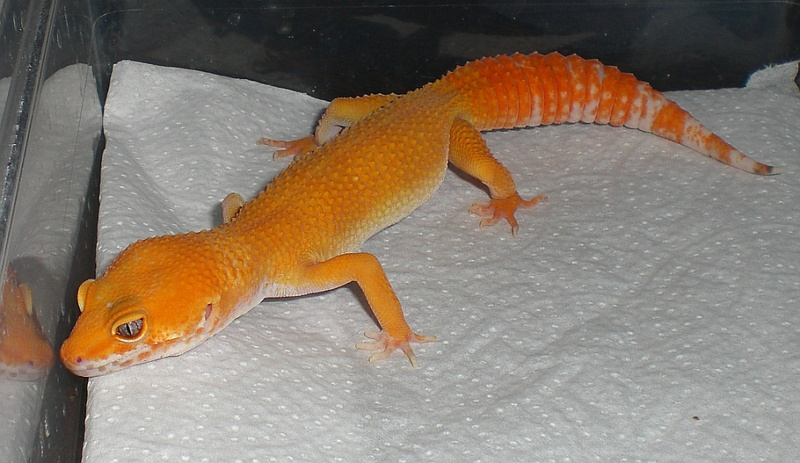 Пятнистый эублефар морфы Tremper Albino Sunglow