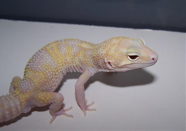 Пятнистый эублефар морфы Tremper Albino Mack Snow Eclipse