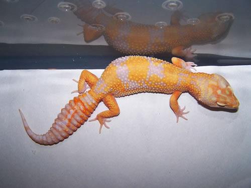 Леопардовый геккон морфы Tremper Albino Jungle Giant