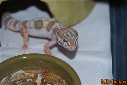 Пятнистый эублефар морфы Mack Snow Tremper Albino