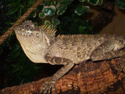 Акантозавр вооруженный (Acanthosaura armata)