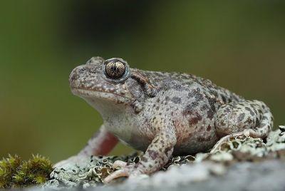 Жаба-повитуха обыкновенная (Alytes obstetricians)