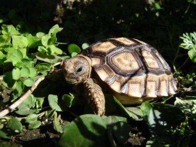 Черепаха аргентинская (Chelonoidis chilensis)