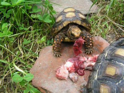 Черепахи рода Chelonoidis поедают мясо