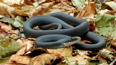 Полоз чёрный (Coluber constrictor)