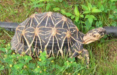 Черепаха звёздчатая (Geochelone elegans)