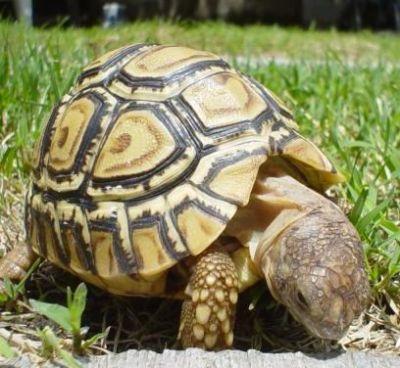 Пантеровая черепаха