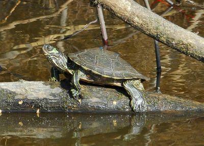 Черепаха географическая Бэрбура (Graptemys barbouri)
