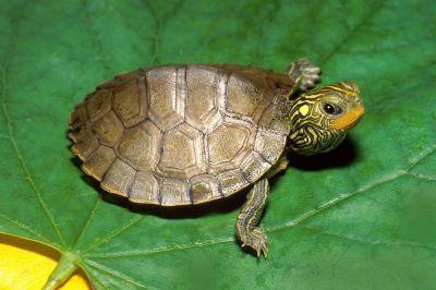 Черепаха географическая обыкновенная (Graptemis geographica)