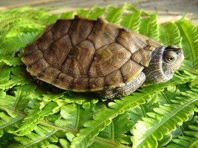 Черепаха географическая миссисипская (Graptemis kohni)