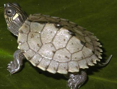 Черепаха пилоспинная (Graptemis pseudogeographica)