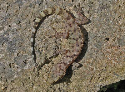 Геккон домовой турецкий (Hemidactylus turcicus)