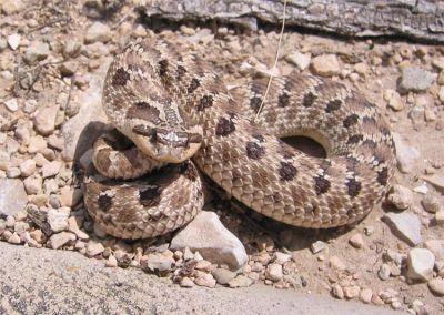 Змея свиноносая западная (Heterodon nasicus)