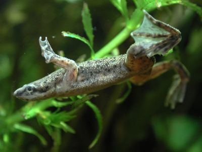 Гименохирус коротконогий (Hymenochirus curtipes)