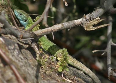 Зелёная ящерица (Lacerta viridis)