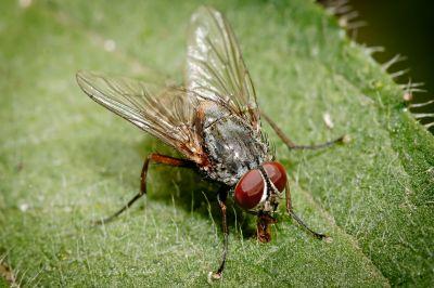 Комнатная муха (Musca domestica)