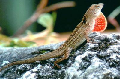 Анолис бурый (Norops sagrei)