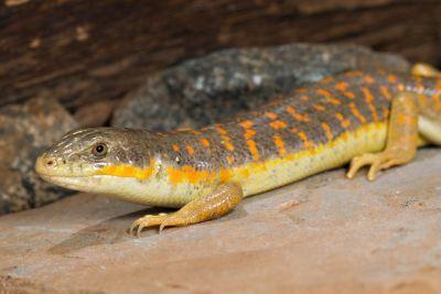 Длинногогий сцинк (Novoeumeces schneideri)