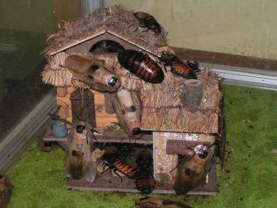 Краткий обзор распространённых культур кормовых тараканов