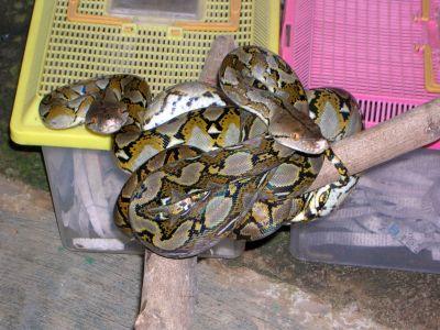 Сетчатый питон (Python reticulatus)
