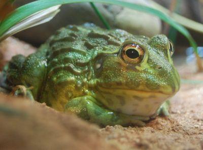 Африканская лягушка-бык (Pyxicephalus adspersus). Клуб любителей ...