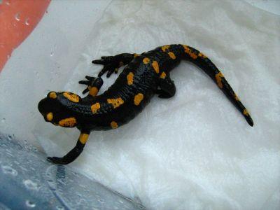 О содержании огненных саламандр (Salamandra salamandra)