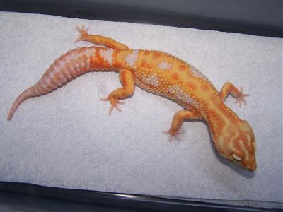 Эублефар морфы Tremper Albino Jungle Giant