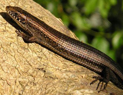 Tetradactylus seps