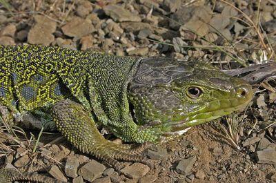 Ящерица жемчужная или глазчатая (Timon lepidus)