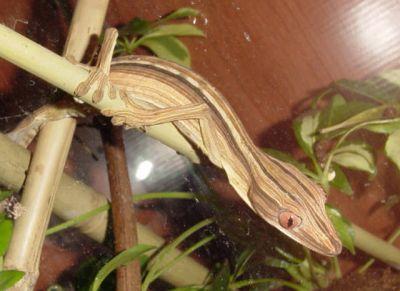 Геккон плоскохвостый полосатый (Uroplatus linearus)
