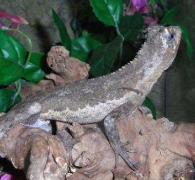 Игуана мопсоголовая (Uranoscodon superciliosa)
