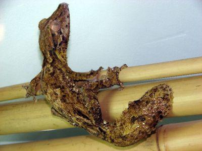 Геккон плоскохвостый Хенкеля (Uroplatus henkeli)