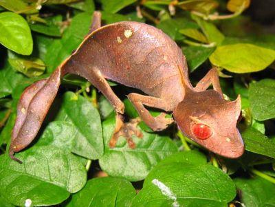 Геккон плоскохвостый фантастичный (Uroplatus phantasticus)
