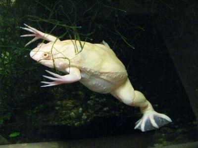 Лягушка шпорцевая гладкая (X. laevis) альбинос
